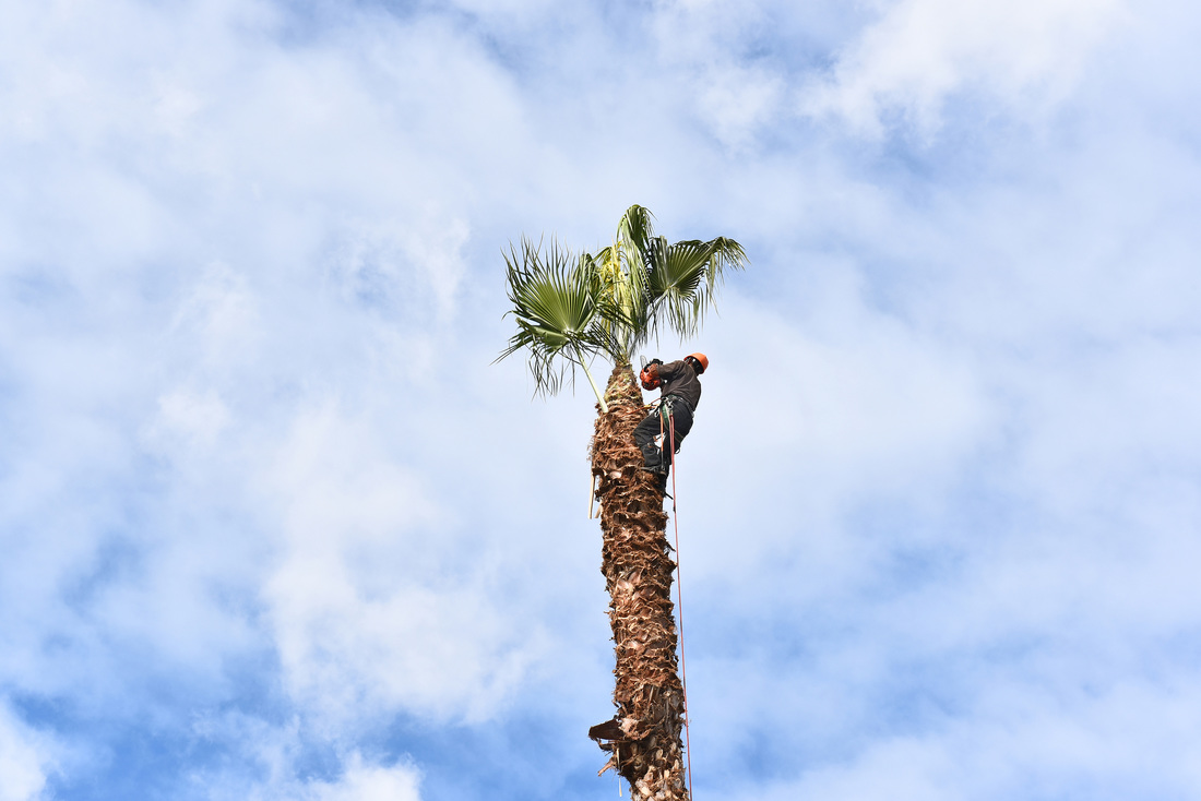 palm tree removal madera ca